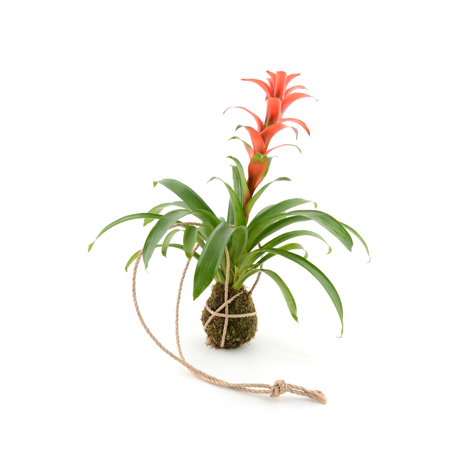 bromeliad plant care instructions